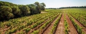Photo - paysage - terroir - vigne - nature - Domaine de l'Arbousier