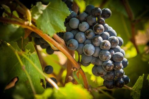 Photo gros plan - vignoble - raisins - grappe - vin