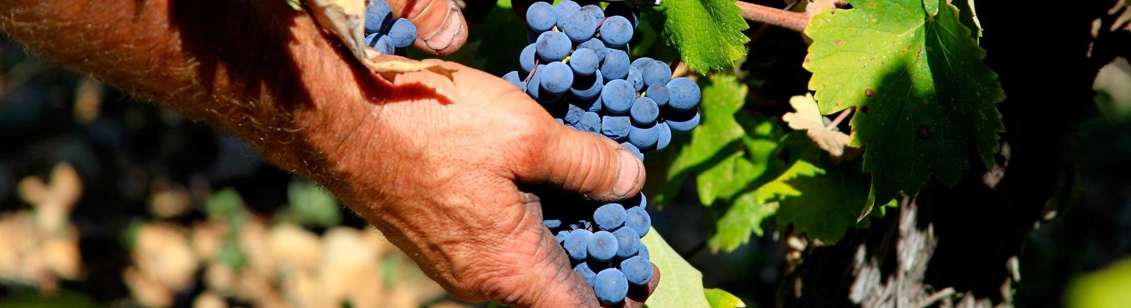 Photo gros plan - vignoble - raisins - grappe - vin - empreinte des hommes - main - vigneron