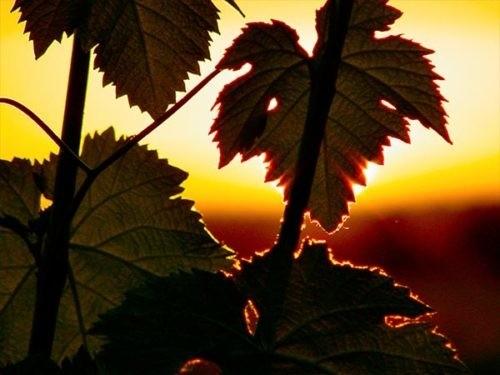 Photo - Domaine saint Jean de l'Arbousier -vignoble - feuilles de vignes - coucher de soleil