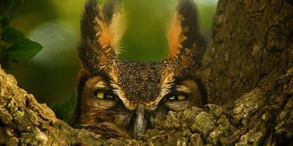 Photo - Hibou Grand Duc - nature - animaux