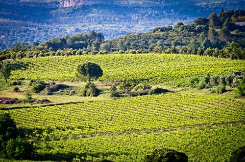 Photo paysage - vignoble - champs de vignes
