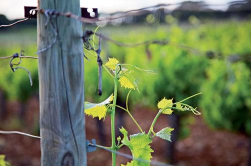 Photo gros plan - pied de vigne - vignoble - terroir