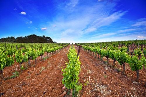 Photo paysage - vignes - vignoble - terroir - ciel bleu